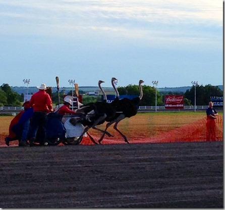 Ostrich race 1