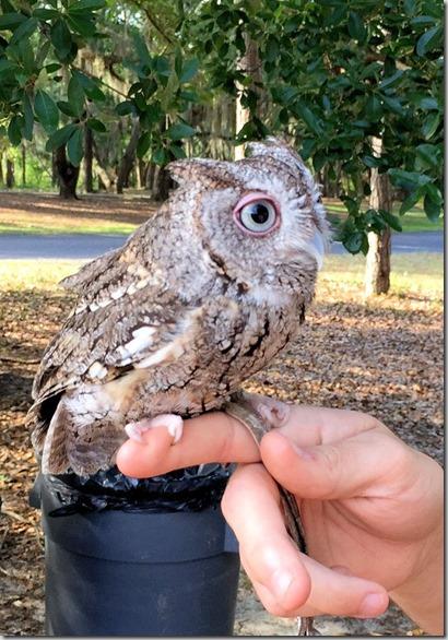 Luna Little owl