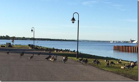 festival park ducks